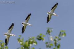American White Pelican 20160416_8992 (GORGEous nature) Tags: bird water flying washington spring scenic april wetland vertebrates americanwhitepelican pelecanuserythrorhynchos crgnsa clarkco steigerwaldlakenwr johndavis