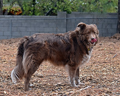 Shizandra (Jo Zimny) Tags: dog animal healthy sweet guard companion inthebackyard whatmakesmehappy theflickrlounge shizandra
