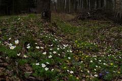 IMGP3267_flickr (wwwdoniux) Tags: blossom anemone hepatica windrschen ibuokl ibut smcpentaxfa31mmf18allimited pluk ydjimas pentaxk5iis