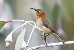 western spinebill, female (kampang) Tags: kingspark westernaustralia westernspinebill acanthorhynchussuperciliosus