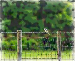 Happy Fence Friday (NancySmith133) Tags: loggerheadshrike hff ranchroad centralfloridausa happyfencefriday floridascenichighway astatulafl