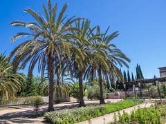 Date palm (melastmohican) Tags: california blue sky food orange plant tree green nature phoenix yellow fruit garden us healthy flora branch unitedstates desert natural sweet outdoor sanjose tasty palm delicious exotic bunch date agriculture dates dactylifera