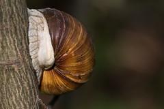 Weinbergschnecke (Helix pomatia) (Role Bigler) Tags: animal fauna tiere spring dof snail depthoffield schnecke frhling weinbergschnecke helixpomatia ef100400lisusm canoneos7mkii
