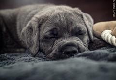 Sweet dreams (RafalGorski) Tags: dog cane puppy nikon sleep corso blanket pies mm 50 sen italiano piesek kocyk szczeniak may tygodni sze