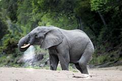 Elephant drinking (Sheldrickfalls) Tags: elephant southafrica krugernationalpark mpumalanga krugerpark kruger olifant elephantbull loxodantaafricana
