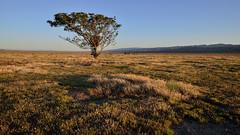 Black Locust (Marc Briggs) Tags: tree landscape lonely lonetree carrizoplain blacklocust carrizoplainnationalmonument dsc6784aw