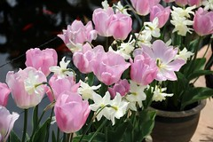 Tulips and Daffodils (tonydickins) Tags: pink plant flower garden outdoor smell daffodil tulip cheap scent brothel odour