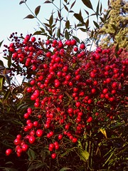 Heavenly Bamboo (Chancelrie) Tags: plant berries outdoor nandinadomestica heavenlybamboo