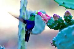 Fork-tailed Woodnymph (Thalurania furcata) - male (Rodrigo Conte) Tags: brazil male bird brasil hummingbird ave hummer macho beijaflor brasilia woodnymph trochilidae forktailed fantasticnature furcata beijaflortesouraverde thaluraniafurcata trochilinae thalurania brasilemimagens