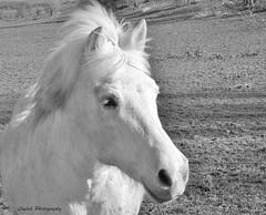 un regard de libert (laurek.photography) Tags: horse white black nature look landscape cheval freedom natural pony poney monochome