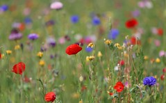 Bokeh and colors (Sa Mu) Tags: life flowers flower love spring poppies lovely
