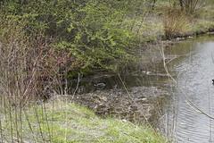 048.Mallards2-parkfield (aetherspoon) Tags: park bird duck pond mallard greentree birb