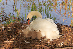 Swan family (H. Bos) Tags: cute nature swan natuur swans fuzz almere dons zwaan zwanen vertederend babyzwaan babywan