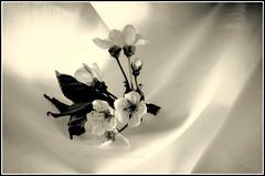 (Fay2603) Tags: light shadow white black flower monochrome licht blossom indoor frame uni schatten schwarz weis einfarbig fotorahmen