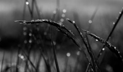 luminata II - the beauty of morning dew (Florian Grundstein) Tags: morning bw macro field grass sunrise grey mirror reflex drops mood dof bokeh details low