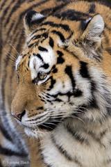 Panthera tigris / Tiger /  / Tiger (sttdk1) Tags: tiger tigris amurtiger panthera altaica