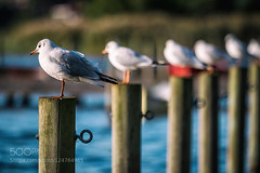 Seagulls chilling (l3v1k) Tags: ocean sunset sea seagulls bird water animal standing sitting harbour wildlife row chilling column chill 500px ifttt