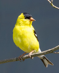 Brilliant Gold (tresed47) Tags: birds us goldfinch content places finch delaware folder takenby 2016 bombayhook peterscamera petersphotos canon7d 201604apr 20160425bombayhookbirds
