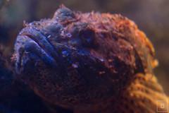 Monaco (Montecarlo), Muse Ocanographique (mrsgcr) Tags: fish macro nature museum aquarium cotedazur montecarlo monaco redfish frenchriviera museeoceanographique