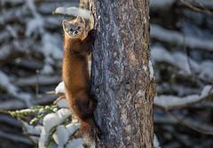 Pine Marten (JD~PHOTOGRAPHY) Tags: tree nature animal pinetree pine mammal wildlife algonquin marten algonquinpark pinemarten algonquinwildlife