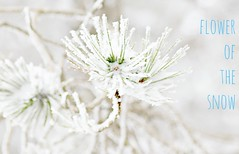 like a winter flower (philos from Athens) Tags: winter white snow pinetree athens parnitha picmonkey