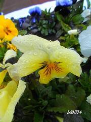 Spring melodies / Мелодії весни (ruta / рута) Tags: flower yellow spring violet urbannature waterdrops
