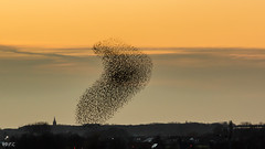 Birds (Di-PiC) Tags: sunset birds zonsondergang vogels roeselare