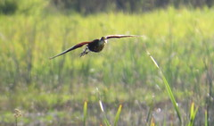 Northern Jacana (Michael Woodruff) Tags: flying texas flight northern hidalgo jacana 2016 spinosa northernjacana jacanaspinosa
