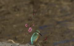 Kingfisher in plum blossoms (Arlenk.) Tags: flower blossoms plumblossoms 2016 kingfishers ef28300mmf3556lisusm canoneos7d arlenk arlenekato