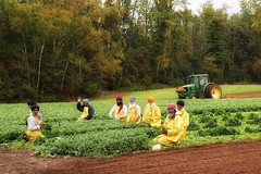 Flip the script (s@ssyl@ssy) Tags: ontario canada farming harvest september rainy crops picking flamborough drizzlyday noideawhattheyrepicking