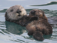 Sea Otter and young (Enhydra lutris) at Morro Bay Harbor 2016 (Atascaderocoachsam) Tags: ngc otter morrobay seaotter mammals droh enhydralutris dailyrayofhope