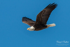 January 17, 2016 - A gorgeous Bald Eagle in Adams County. (Tony's Takes)