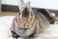 IMG_5740-1 (Rabbit's Album) Tags: pet rabbit bunny animals  choco   minirex  ef50mmf18   canonx7i x7i