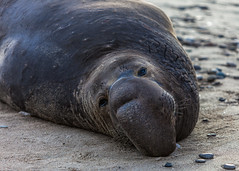 Elephant Seal at Ano Nuevo State Park-7971 ( / Jiayin Ma) Tags: california park elephant beach water 1 sand state wave route seal ao ano nuevo seaocean