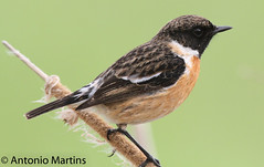 IMG_3962.jpg (AMPMartins) Tags: aves