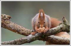 mon précieux !!!... (guiguid45) Tags: nature nikon squirrel animaux forêt écureuil sauvage loiret mammifères 500mmf4 d810