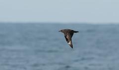 Pelagic Predator (martytdx) Tags: birds lifelist nj february atlanticocean rarity pelagic skua greatskua stercorariusskua pelagictrip pelagics stercorarius skuas stercorariidae paulagic