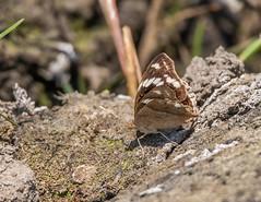 PGC_7877-20150917 (C&P_Pics) Tags: butterfly western zambia zm insectsandspiders zambiatonamibia