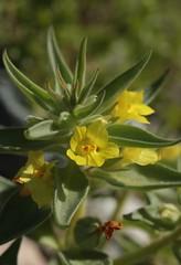 golden desert snapdragon (Mohavea breviflora) (western goblin) Tags: california badwater deathvalleynationalpark mohaveabreviflora plantaginaceae inyocounty goldendesertsnapdragon img6063