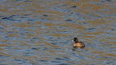 Tufted Duck Female 0573 (Paul C Cooper) Tags: blue orange brown male water female duck wing beak feathers wave tufted swell wader