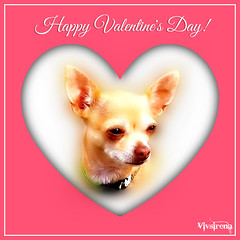 "Pinta says, ""Happy Valentines' Day!"" (vivsirena ( *On & Off* )) Tags: dog doggie pinta chiuahuah vivsirena"