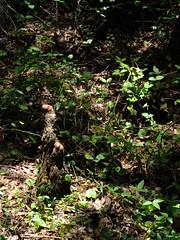 Cypress Stumps (failing_angel) Tags: florida wetland esterobay fortmyers fortmyer sixmilecypressslough sixmileslough 240515 sixmilecypresssloughpreserve linearecosystem naturaldrainageway