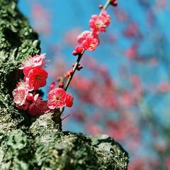 Ume blossom 03 (shige.lotus) Tags: hasselblad500cm proxar planar2880mm fujifujicolorpro160ns