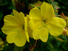 Oenothera glazioviana (yewchan) Tags: flowers flower nature colors beautiful beauty closeup garden flora colours gardening vibrant blossoms blooms lovely oenothera eveningprimrose oenotheraglazioviana