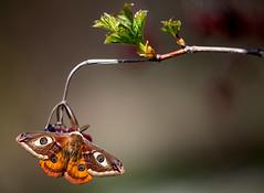 Saturnia pavonia (Charaxes14) Tags: eye spring eyes bokeh moth saturnia pavonia saturniidae biatorbgy