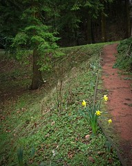 Early Bloomers (Bricheno) Tags: flower scotland escocia kilmarnock szkocja daffodils schottland ayrshire scozia cosse  esccia deancastlecountrypark  weirdwinter  bricheno scoia