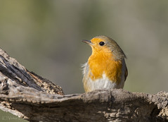 _NAT3971 (VictorD7000) Tags: espaa nature fauna libertad erithacusrubecula aves alicante escalona petirrojoeuropeo nikond7200 sigma150600sport sierradeescalona