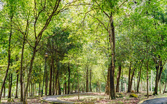 Forest (drumbunkerdragon) Tags: wood trees wallpaper green nature beautiful leaves yellow leaf nice stem singapore path sony ii walkway bark sg rx1r