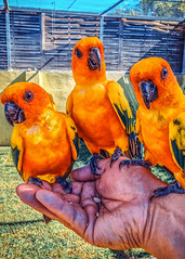 a bird in the hand... (Dale Michelsohn) Tags: colour art birds animal yellow photoshop hand wildlife beak feathers parrot parakeet feed lovebirds iphone dalemichelsohn