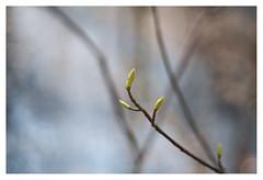 Buds of March (leo.roos) Tags: lens prime buds fl challenge day70 oly knoppen focallength primes lenzen staelduinsebos dyxum darosa brandpuntsafstand leoroos dayprime a7rii dayprime2016 olympuspenf7020